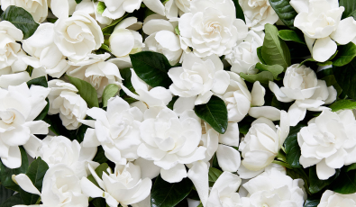 Gardenia: The Scent of Summer